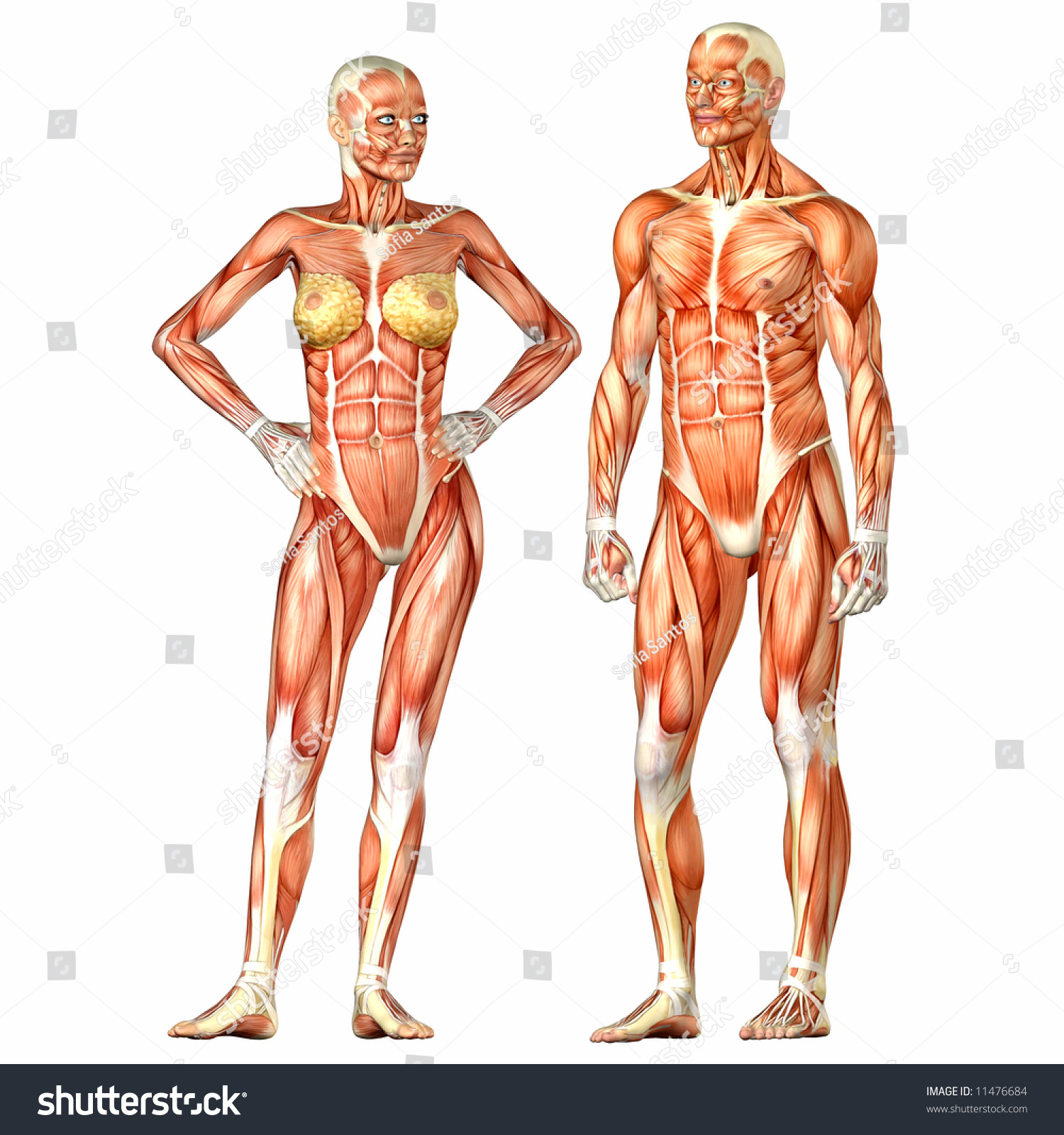 Human Body Anatomy Man Woman Stockillustration 11476684 Shutterstock