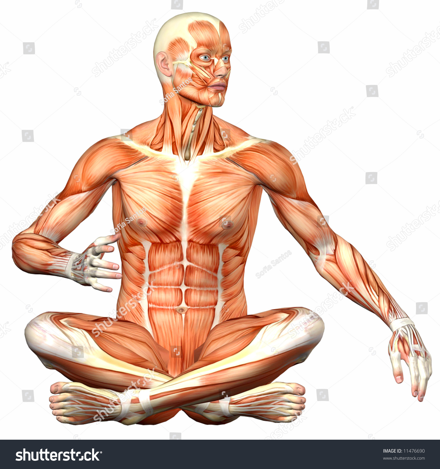 Royalty Free Stock Illustration Of Male Human Body Anatomy Stock