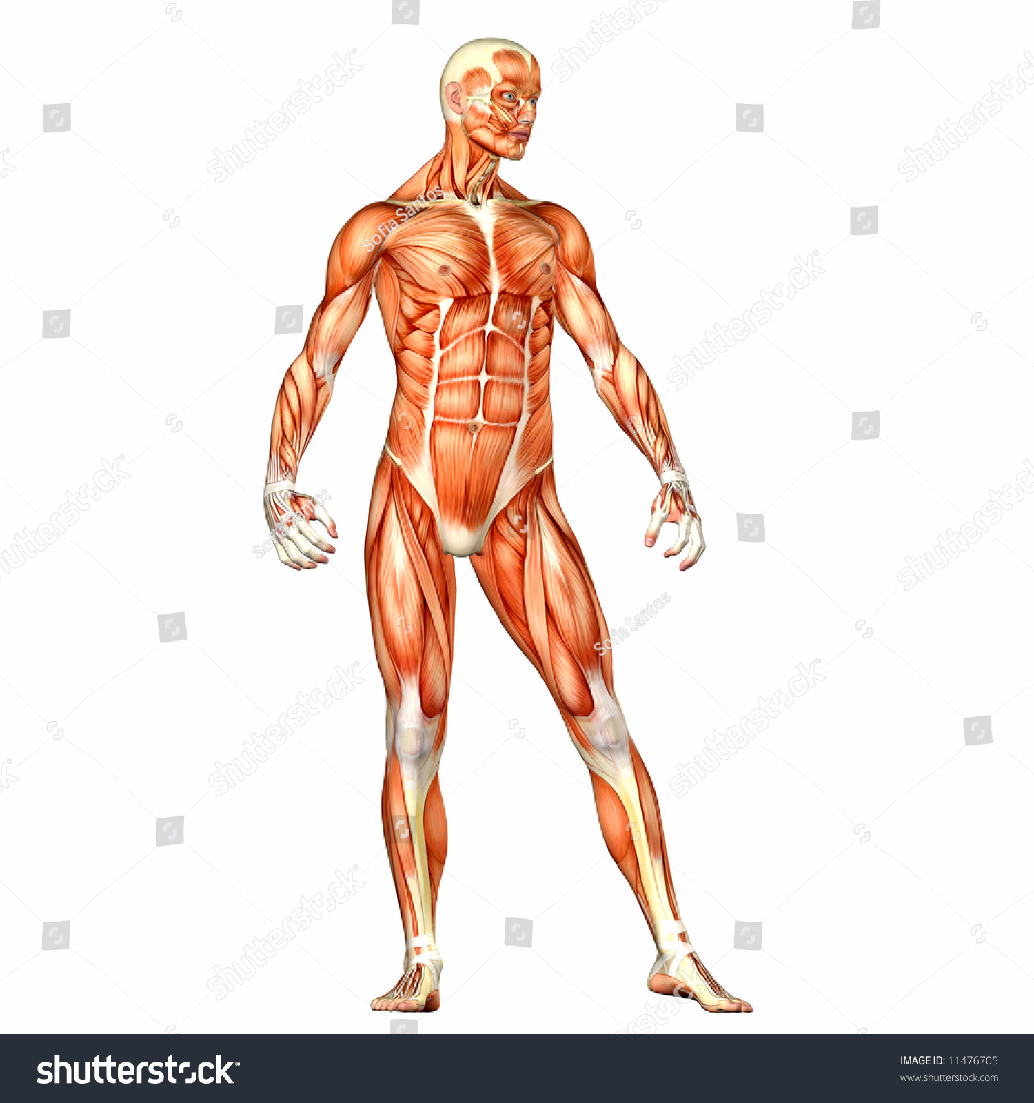 Male Human Body Anatomy Stock Illustration Royalty Free Stock