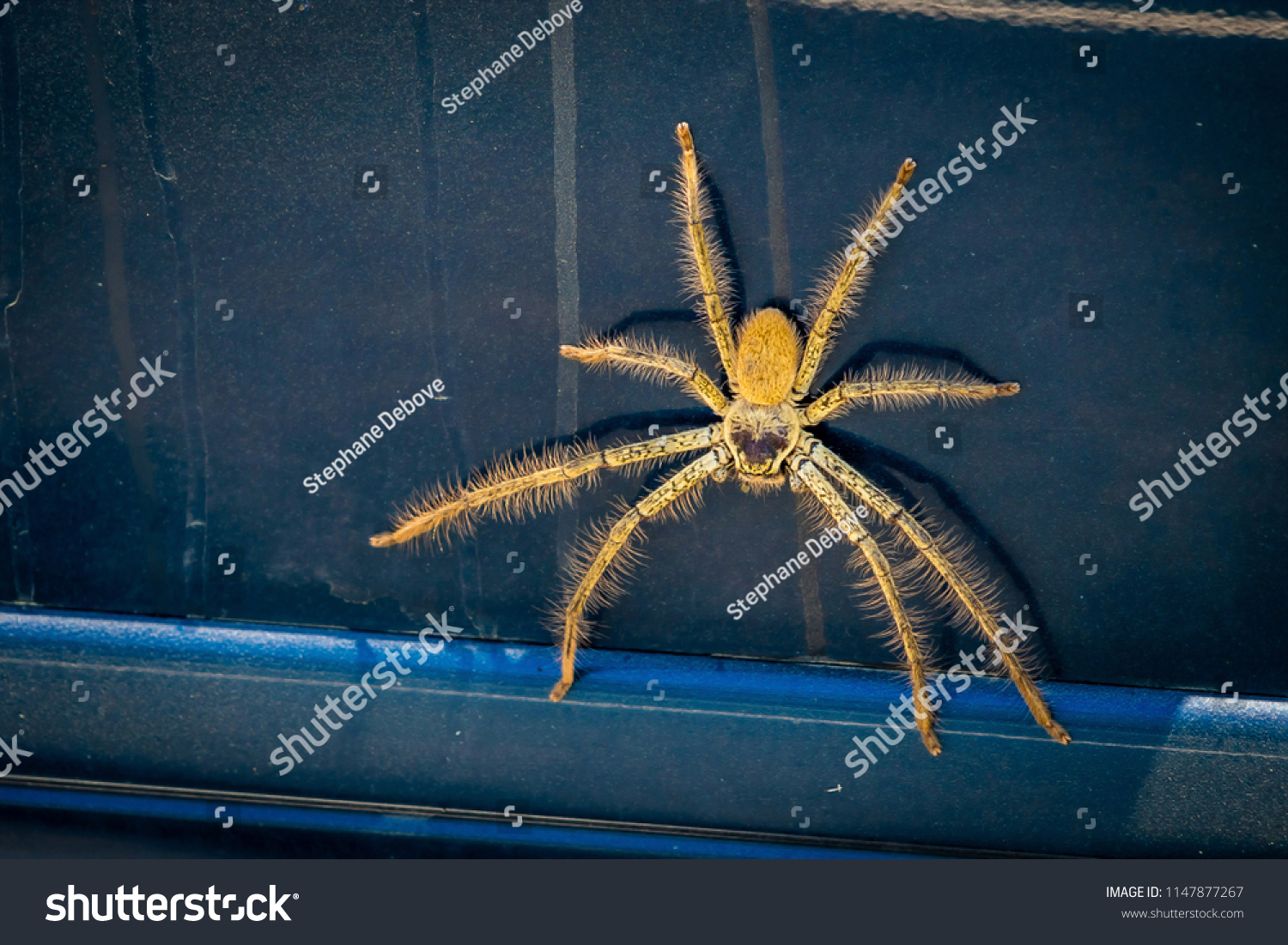 Huntsman Spider Sparassidae On Car Australia Stock Photo