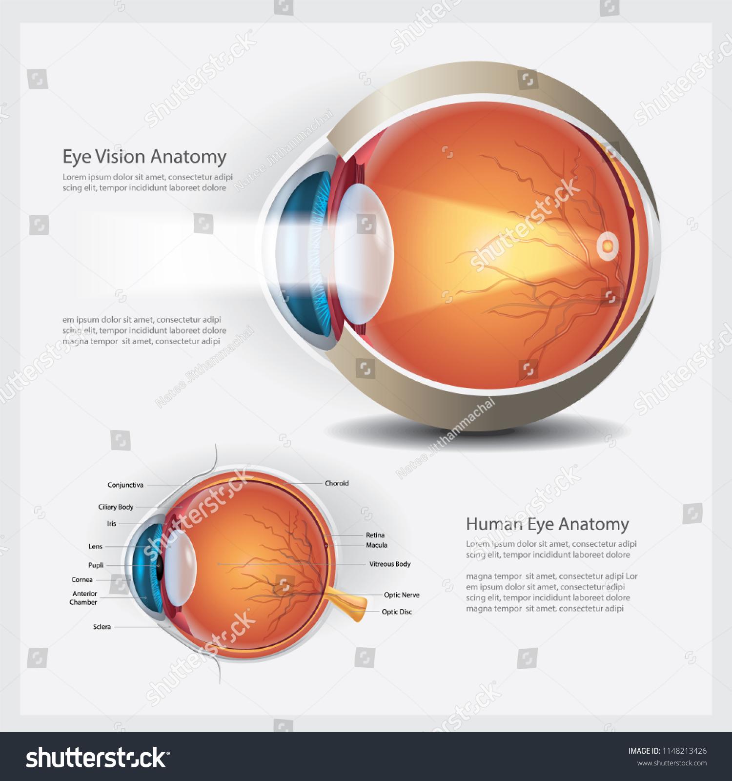 Human Eye Vision Anatomy Vector Illustration Stock Vector (Royalty ...
