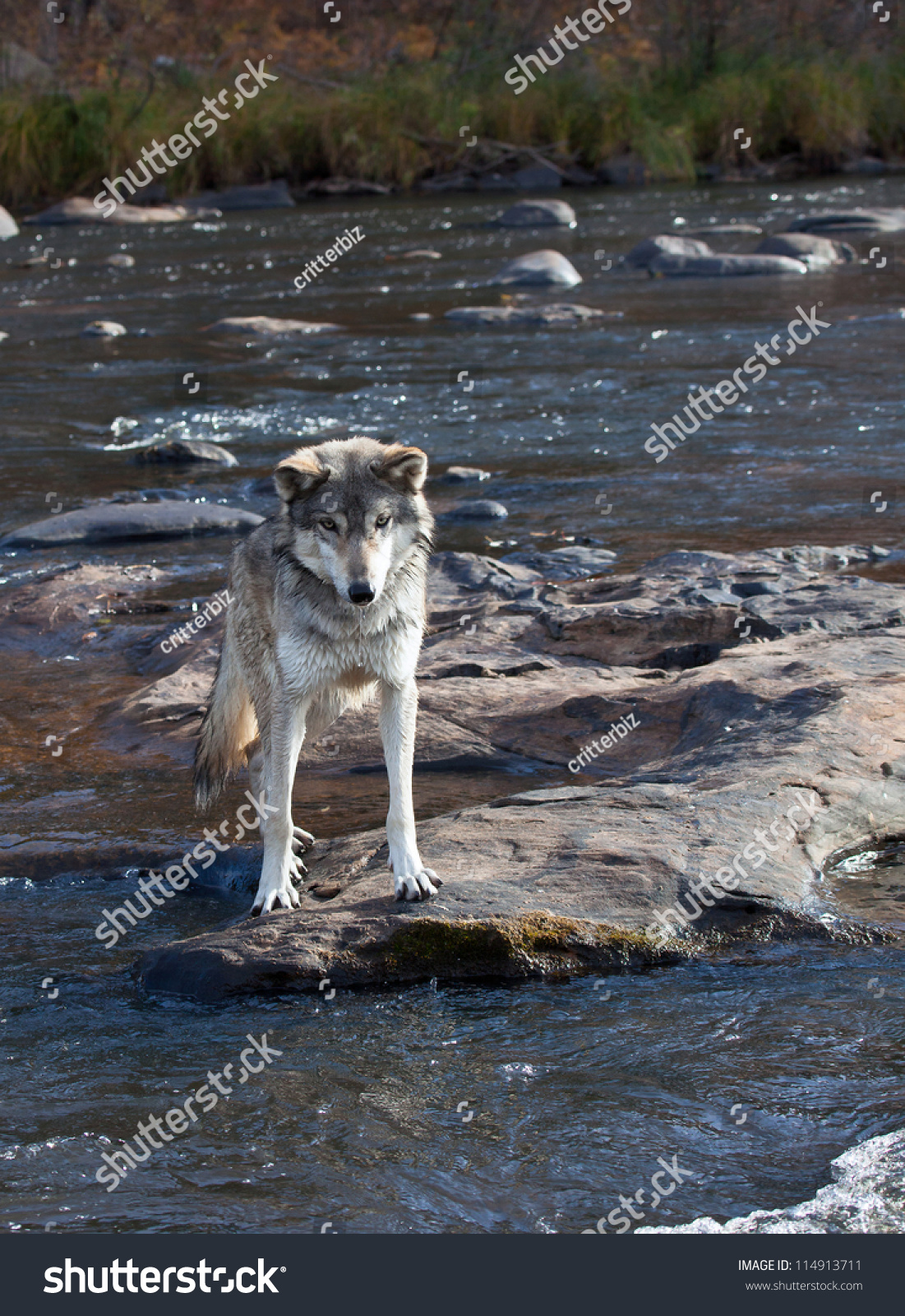 Timber Wolf Standing On River Rock Stock Photo Edit Now 114913711