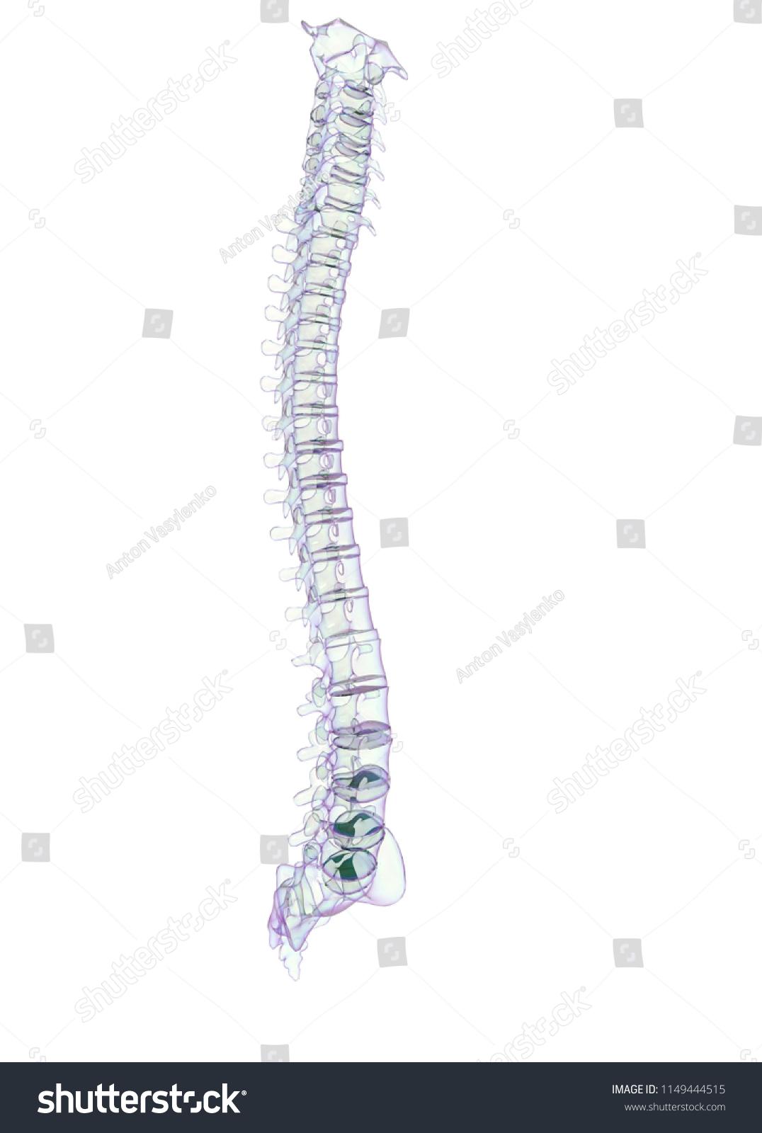 3 D Illustration Human Vertebra Bones Stock 1149444515 Snake Skeleton Diagram 3d Of