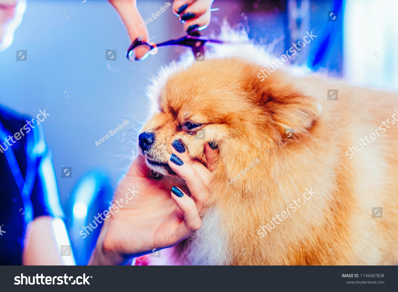 Groomer Haircut Pomeranian Dog Red Hair Stock Photo Royalty Free
