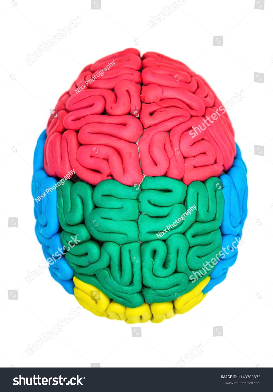 Clay Model Human Brain Anatomy On Stock Photo (Edit Now) 1149705872 ...