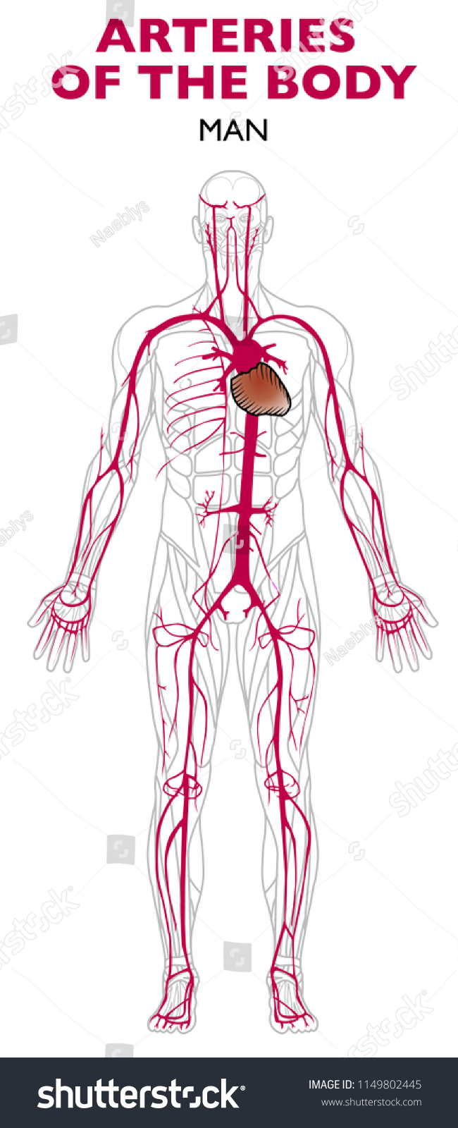 Arteries Human Body Anatomy Artery Blood Stock Vector Royalty Free