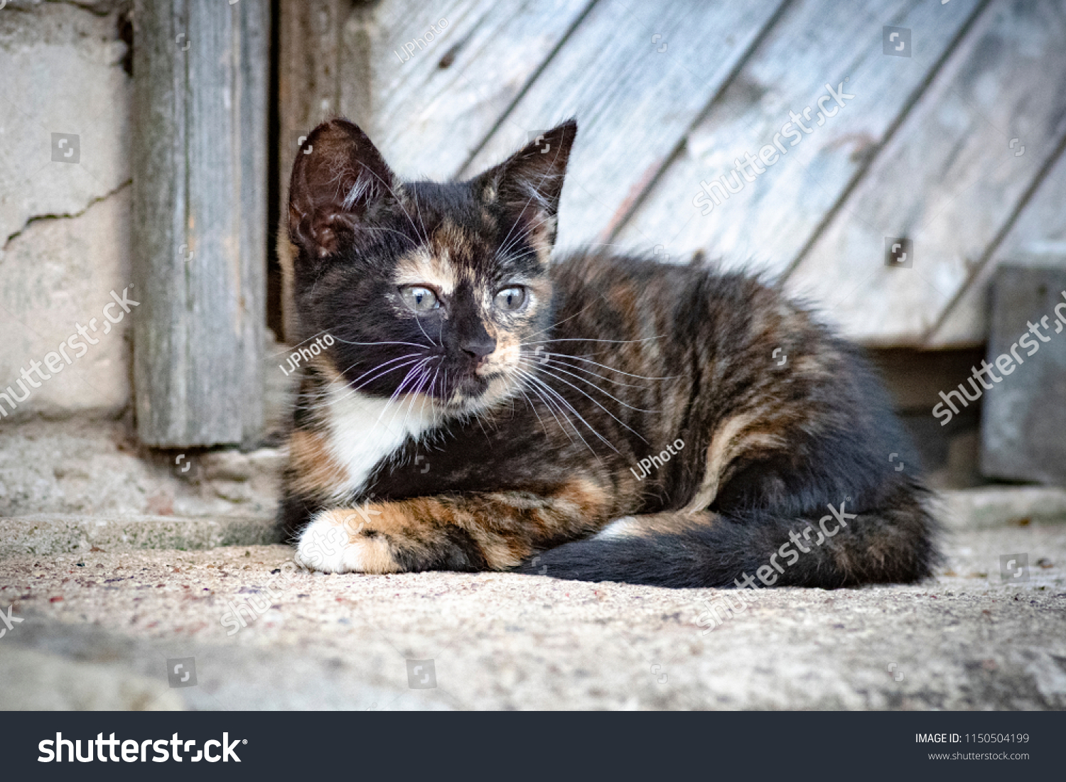Horizontal Close Image Cute Calico Cat Stock Photo Edit Now 1150504199