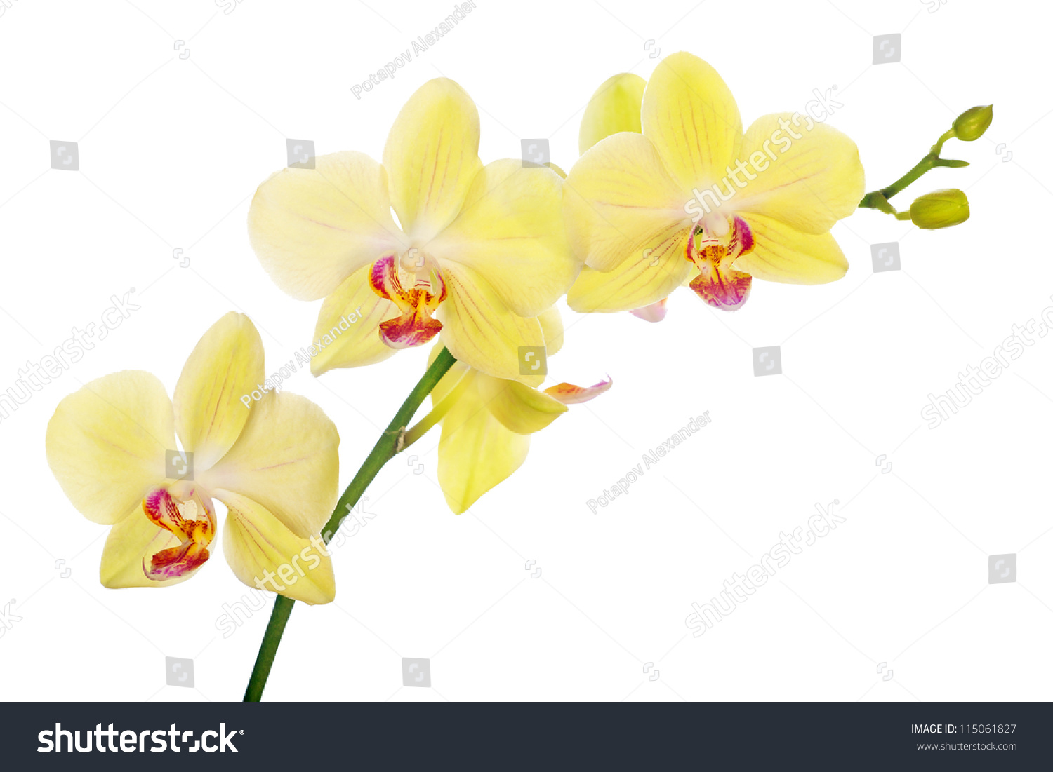 Light yellow orchid flowers isolated on stock photo edit now light yellow orchid flowers isolated on white background mightylinksfo
