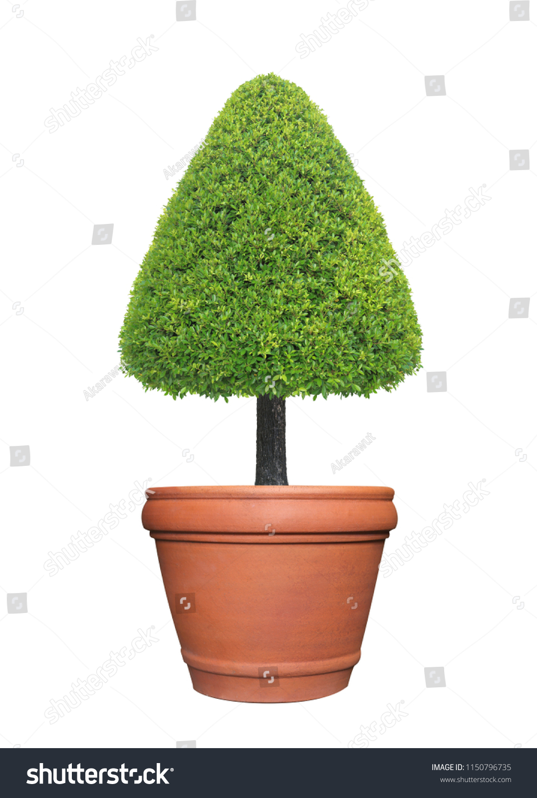 Evergreen Triangle Shape Trimmed Topiary Tree Stock Photo Edit Now 1150796735