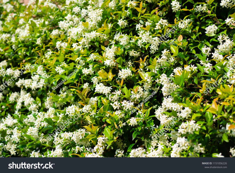Wall Chinese Star Jasmine Flowers Trachelospermum Stock Photo Edit
