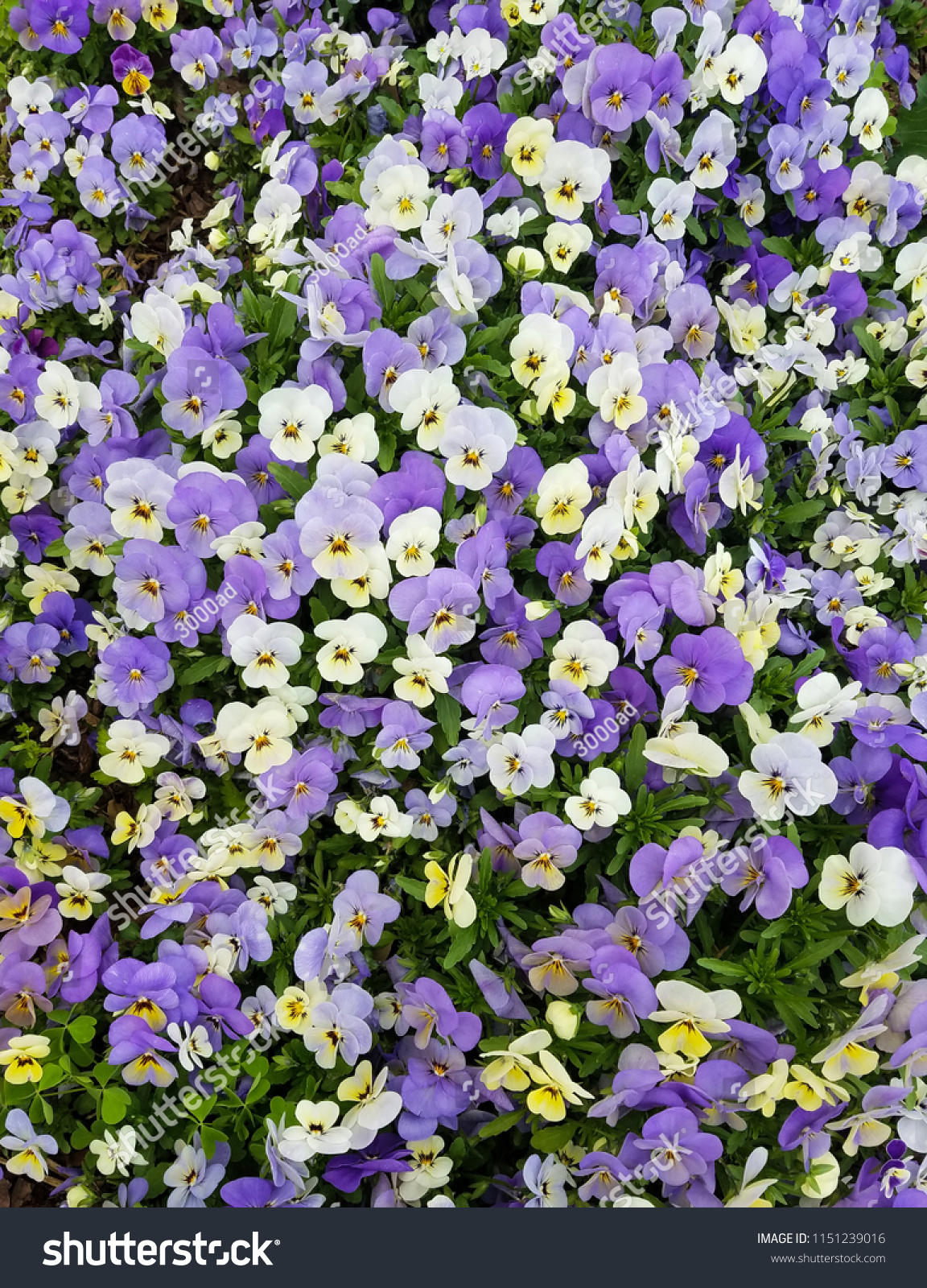 Violet White Pansies Flower Bed Bright Stock Photo Edit Now