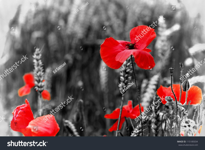 Royalty Free Poppy Red Poppy Flower Symbol Of 115185034 Stock