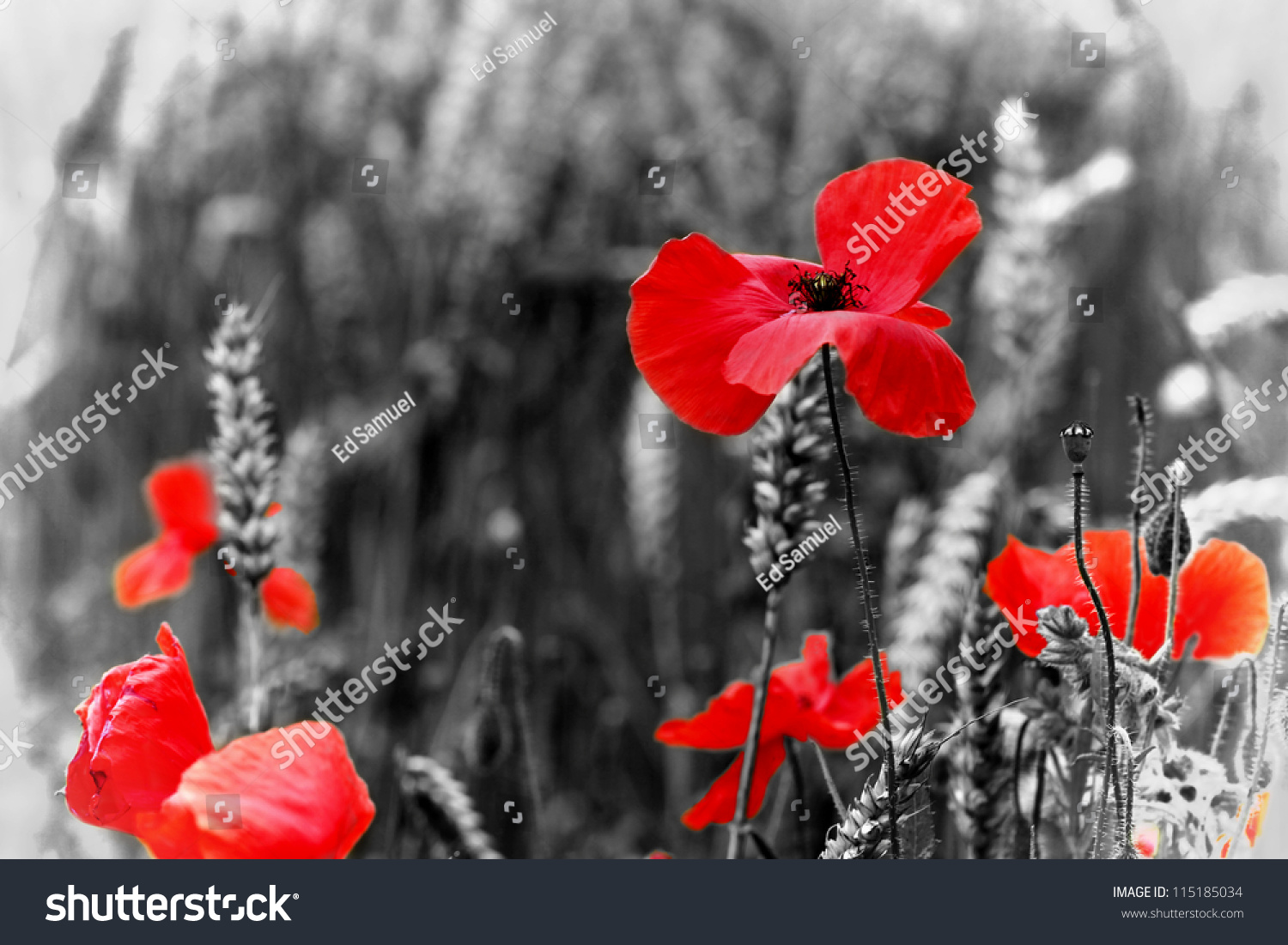 Poppy Red Poppy Flower Symbol War Stock Photo Royalty Free