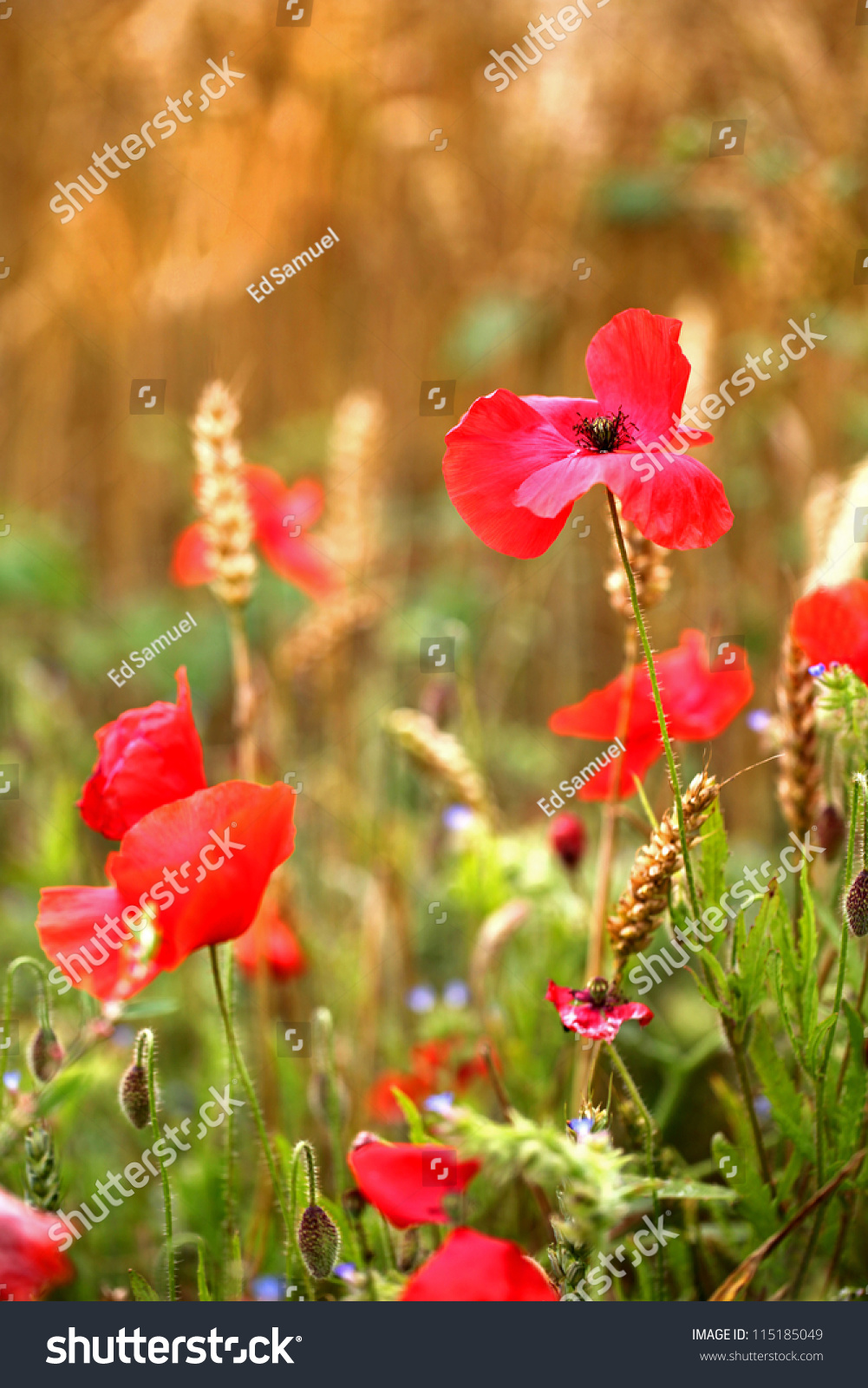 Red poppies poppy flower cornfield symbol stock photo 115185049 red poppies poppy flower in cornfield symbol of war for remembrance day buycottarizona