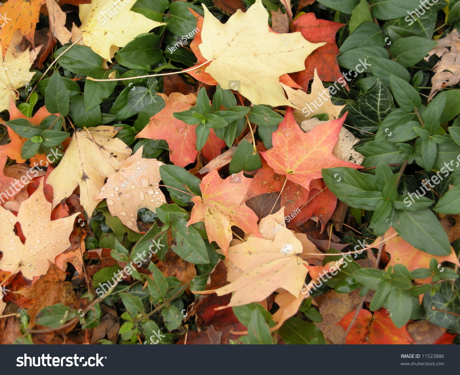 Maple Leaves In Ground Cover Stock Photo 11523886 ...