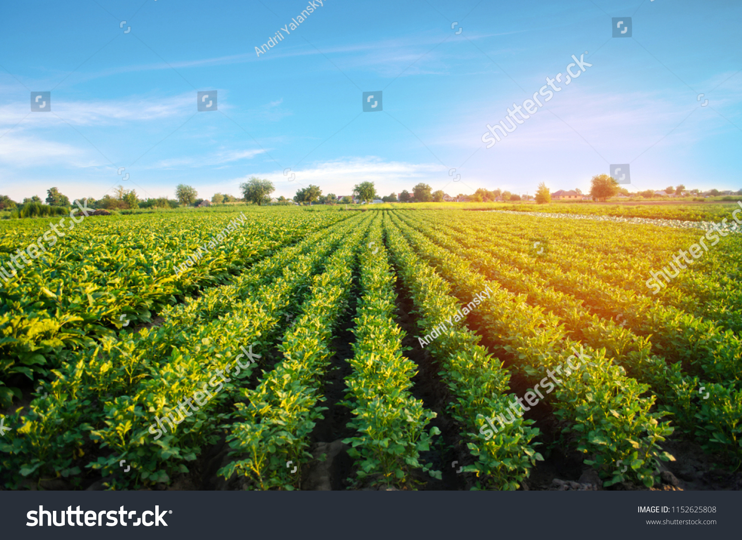 potato plantations grow in the field. vegetable rows. farming, agriculture. Landscape with agricultural land. crops #1152625808