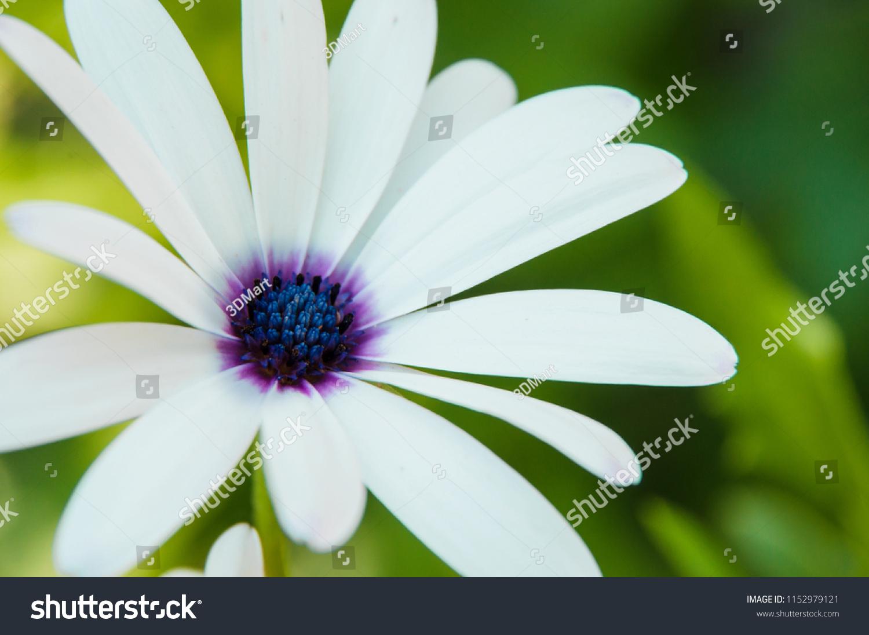 White daisy blue center on green stock photo edit now 1152979121 white daisy with blue center on green background spring flower macro shot izmirmasajfo