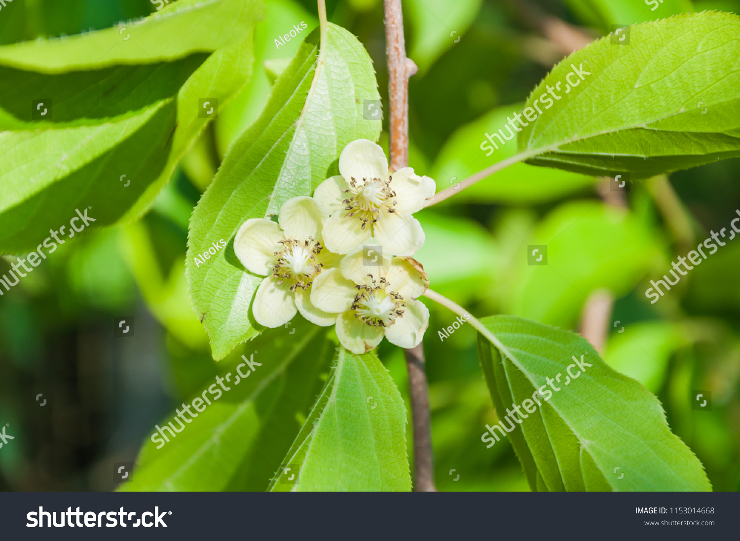 Female Flowers Perennial Vine Actinidia Arguta Stock Photo Edit Now