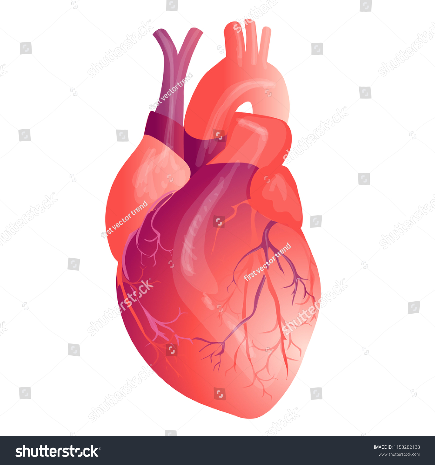 Realistic Human Heart Internal Organ Anatomy Stock Illustration