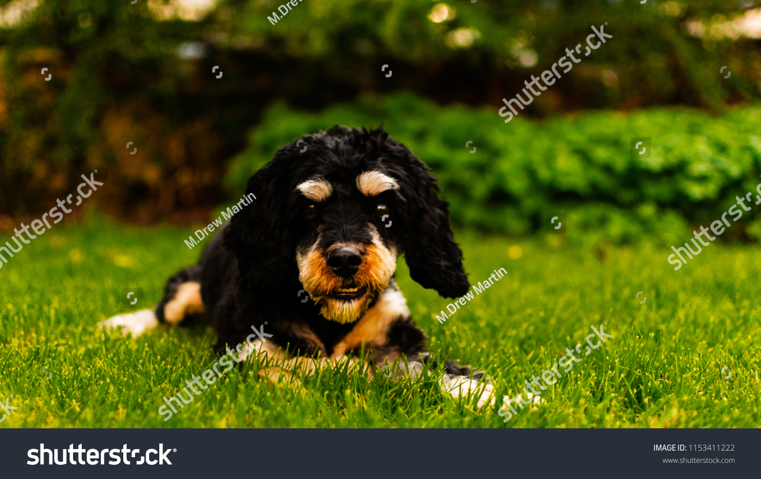 Cavapoo puppy dog pulling a funny face and lying down in the sun on the green grass.