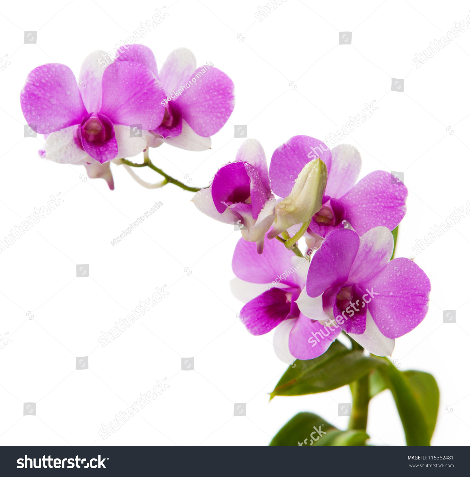 Purple Orchid White Background