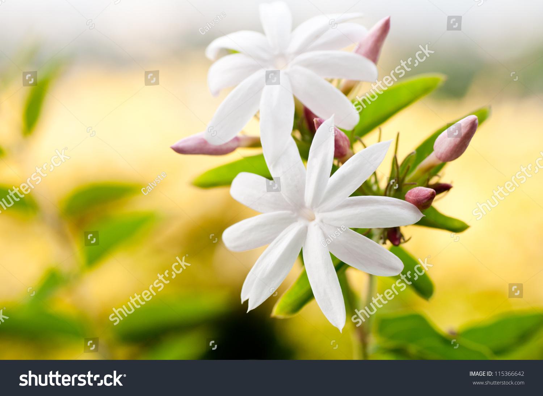 Jasmine Flower Background Yellow Bushes Stock Photo Edit Now