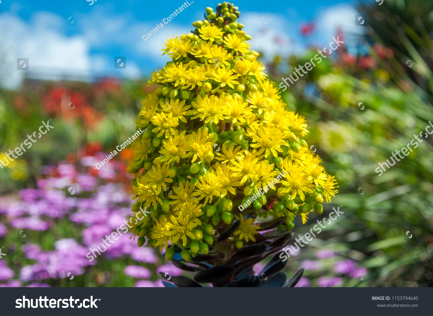 Striking Yellow Flowers Succulent Plant Called Stock Photo Edit Now