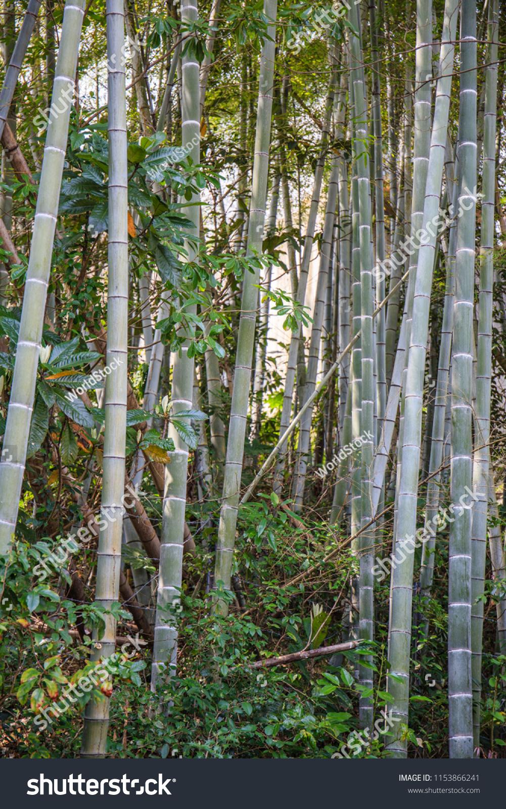 Dark Dense Tangled Bamboo Forest Mountain Nature Stock Image 1153866241