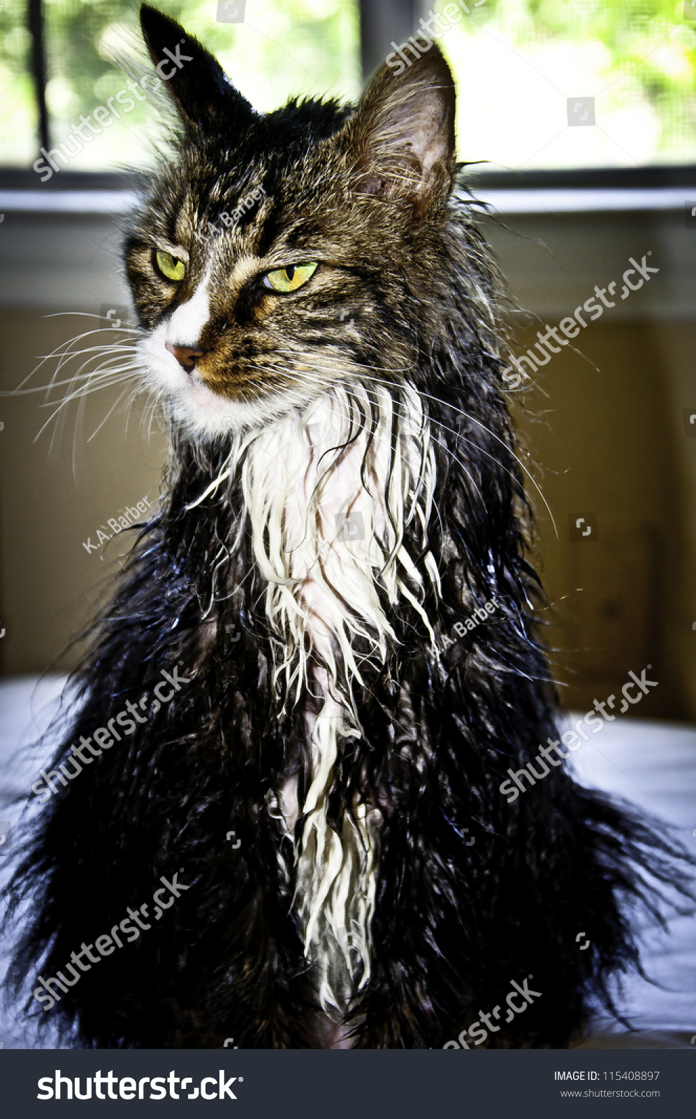 Angry Wet Maine Coon Cat Stock Photo 115408897 : Shutterstock