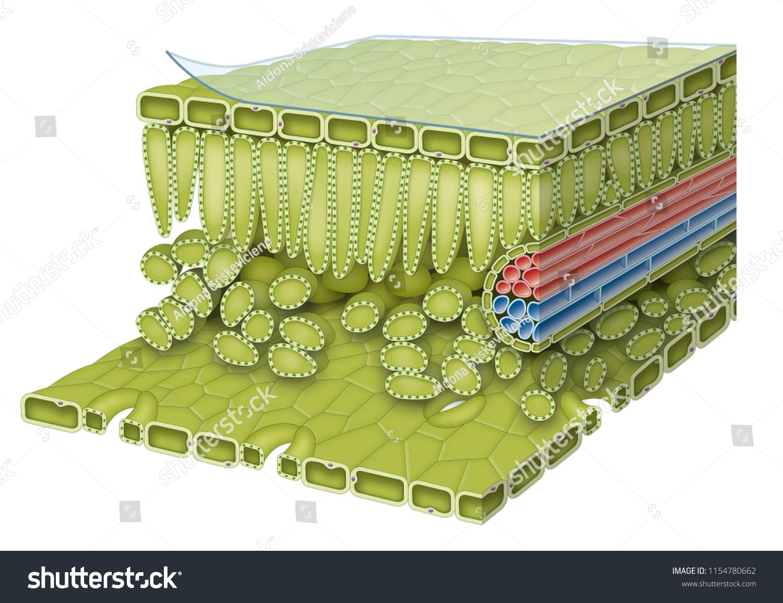 Leaf Anatomy Diagram Stockillustration 1154780662 Shutterstock