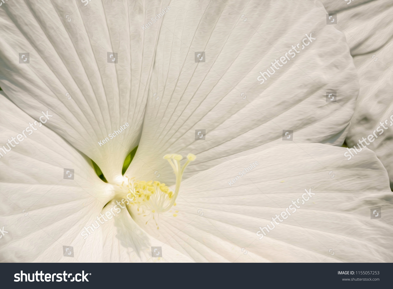 Heart Rose Mallow Binomial Name Hibiscus Stock Illustration 1155057253