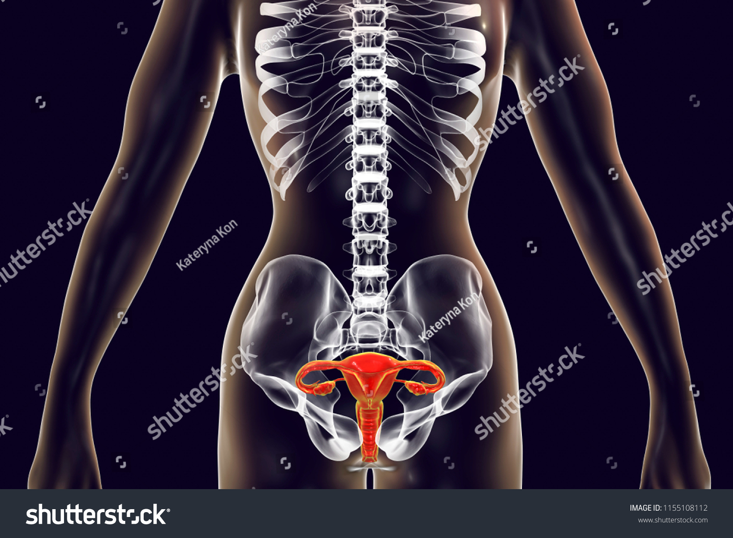 Anatomy Female Reproductive System 3 D Illustration Stock