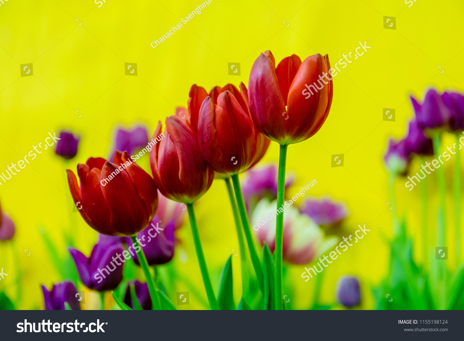 Red Tulips Yellow Color Background Meaning Stock Photo Edit Now