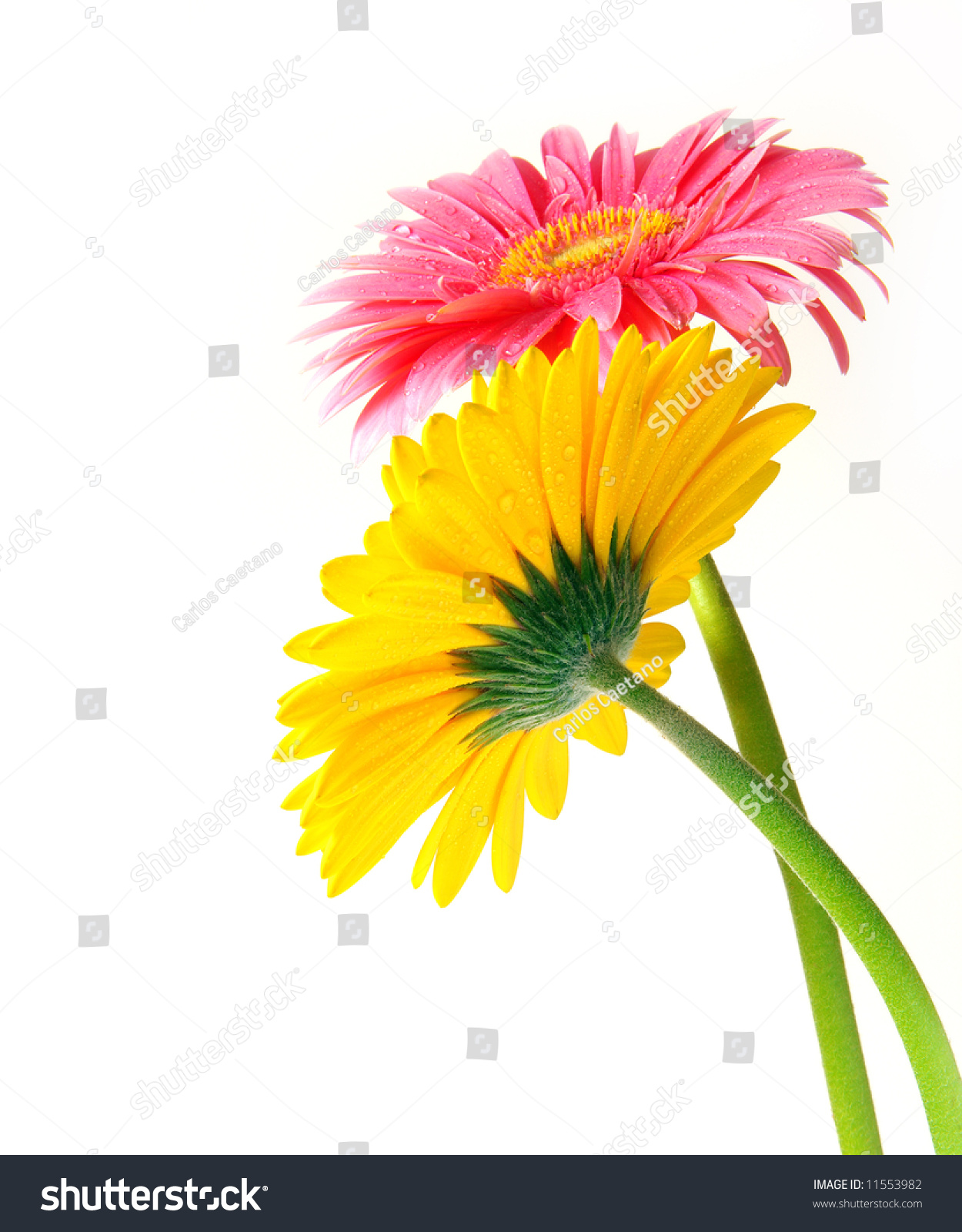 Pink Yellow Gerber Flowers On White Stock Photo Edit Now 11553982