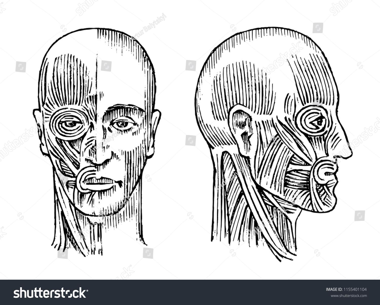 Human Anatomy Muscular Bone System Head Stock Vector Royalty Free