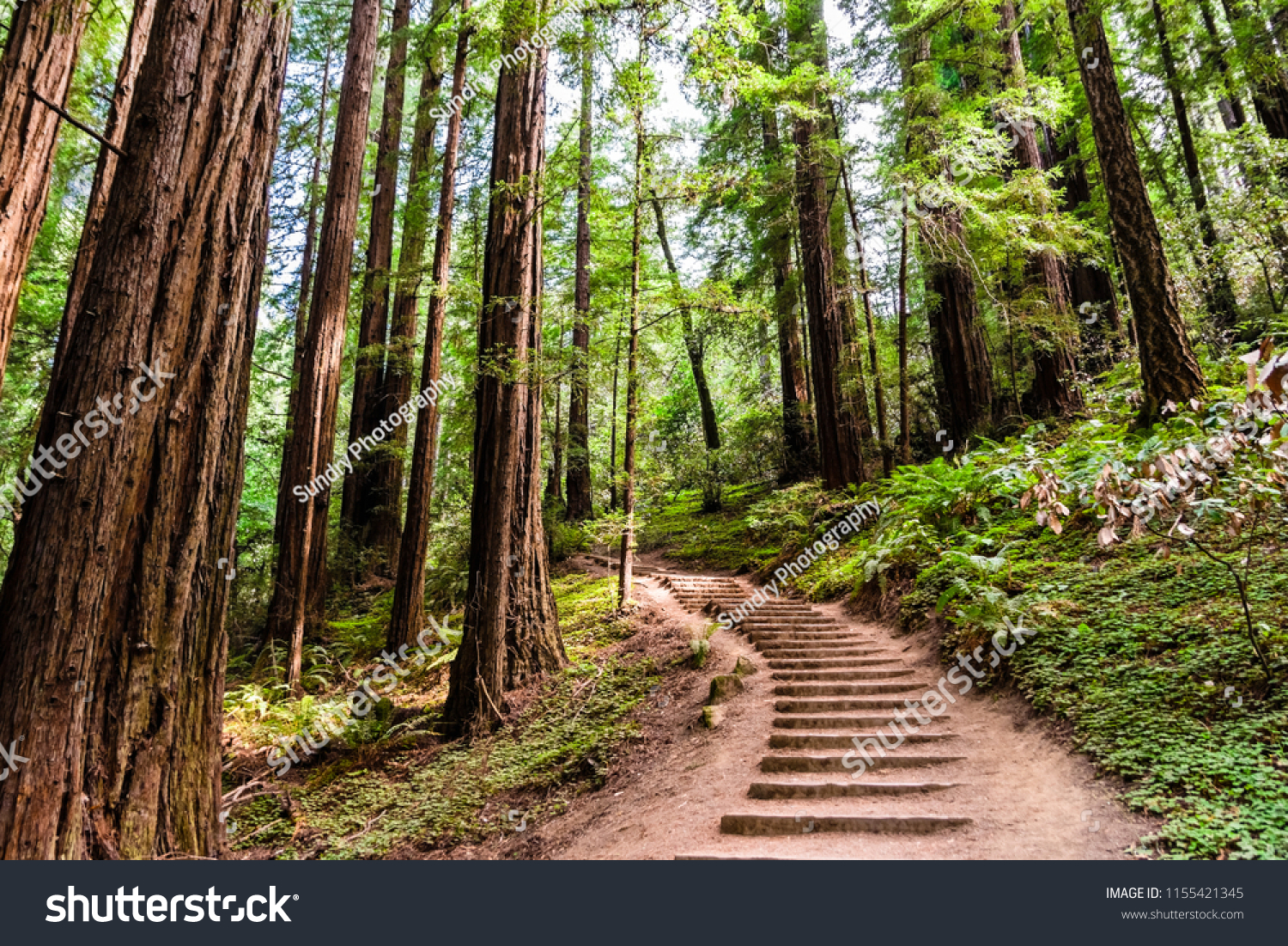 Hiking trail going through redwood forest of Muir Woods National Monument, north San Francisco bay area, California #1155421345