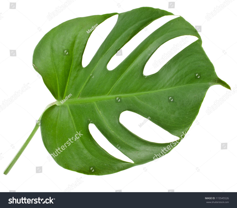 One Big Green Leaf Monstera Plant Stock Photo 115545526