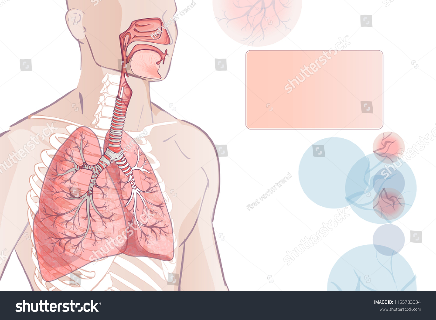 3 D Human Respiratory System Lungs Inside Stock Illustration ...