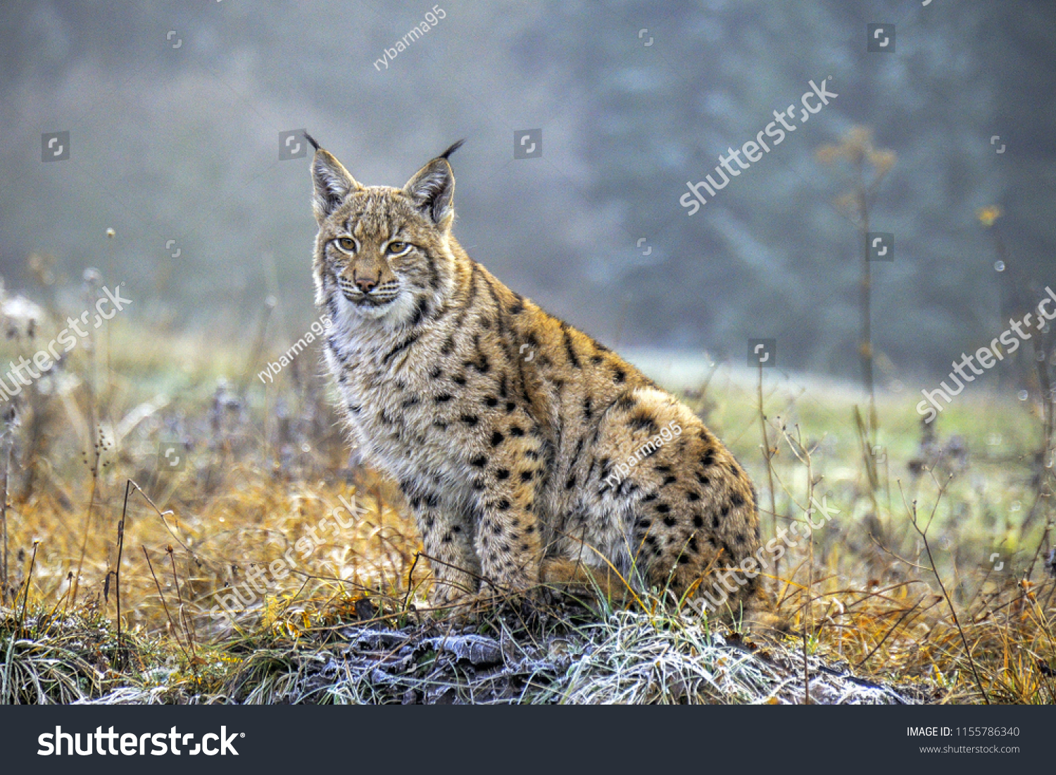 Wild Eurasian lynx (Lynx lynx) in its natural environment deep in the forests. Chilly autumn weather. Wild and endangered predator. Slovakia.