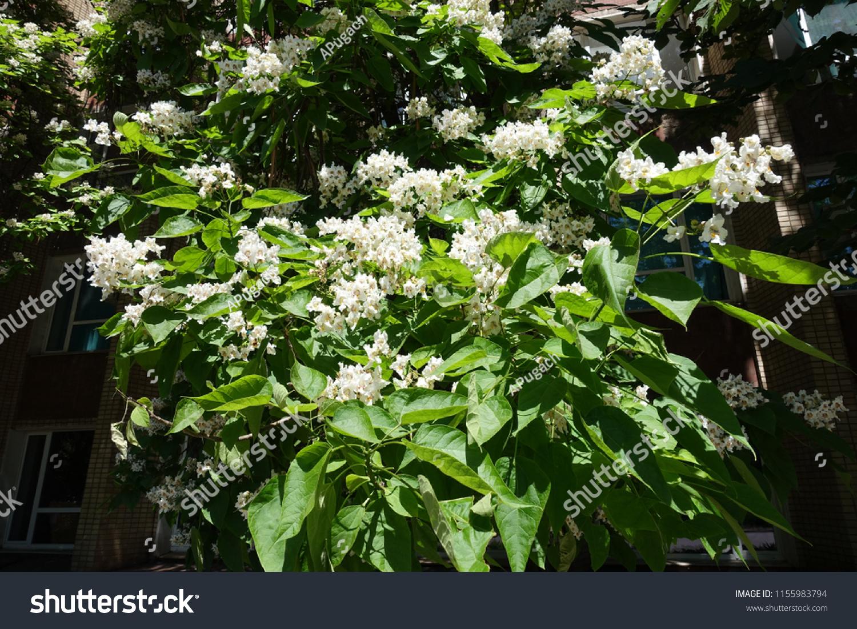Blossoming Catalpa Tree Big White Flowers Stock Photo Edit Now