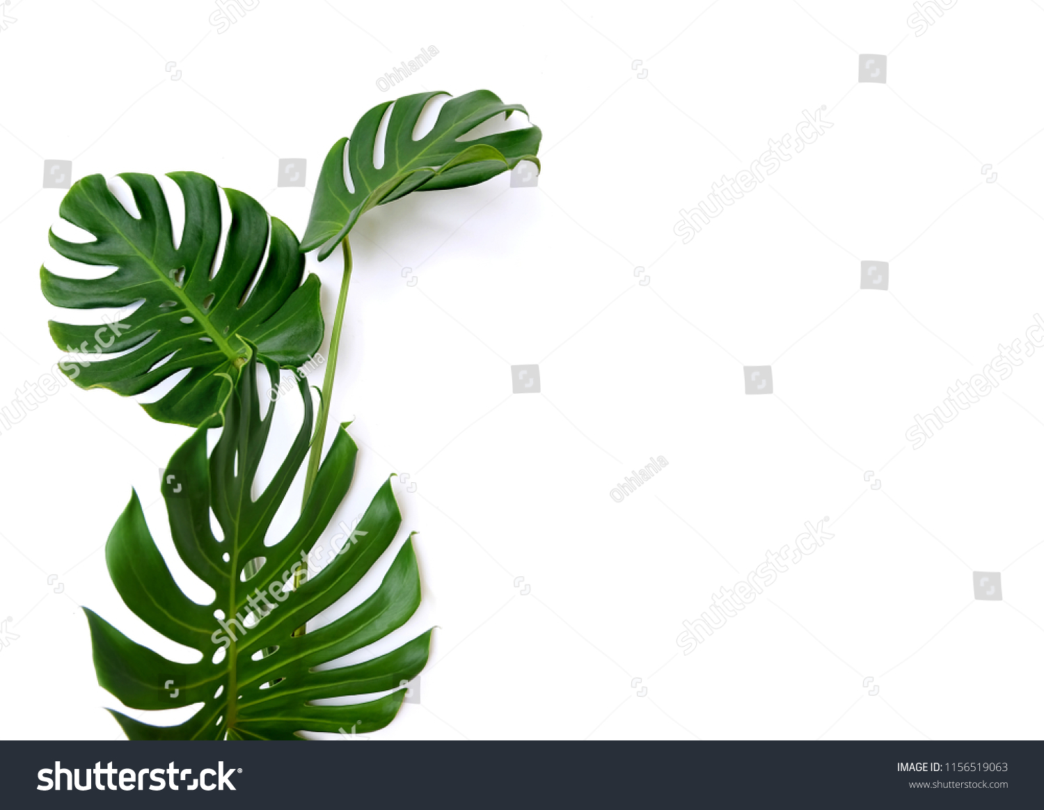 Tropical jungle Monstera leaves isolated, Swiss Cheese Plant,  isolated on white background #1156519063