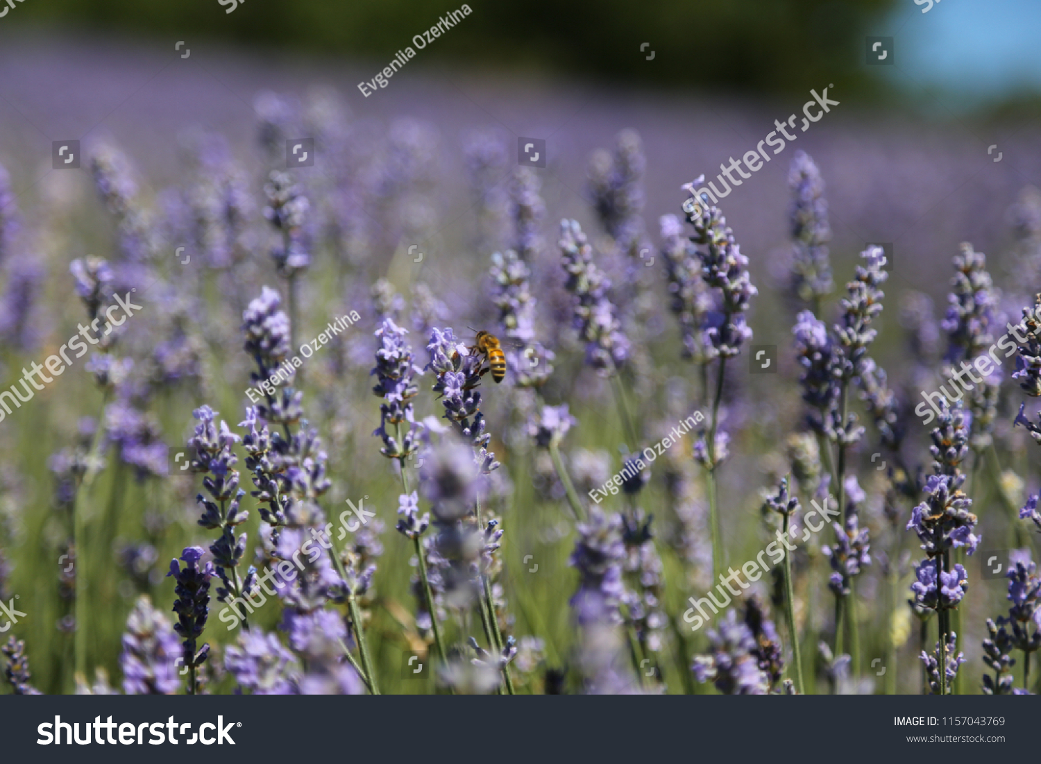 stock-photo-lavender-flowes-with-bee-clo