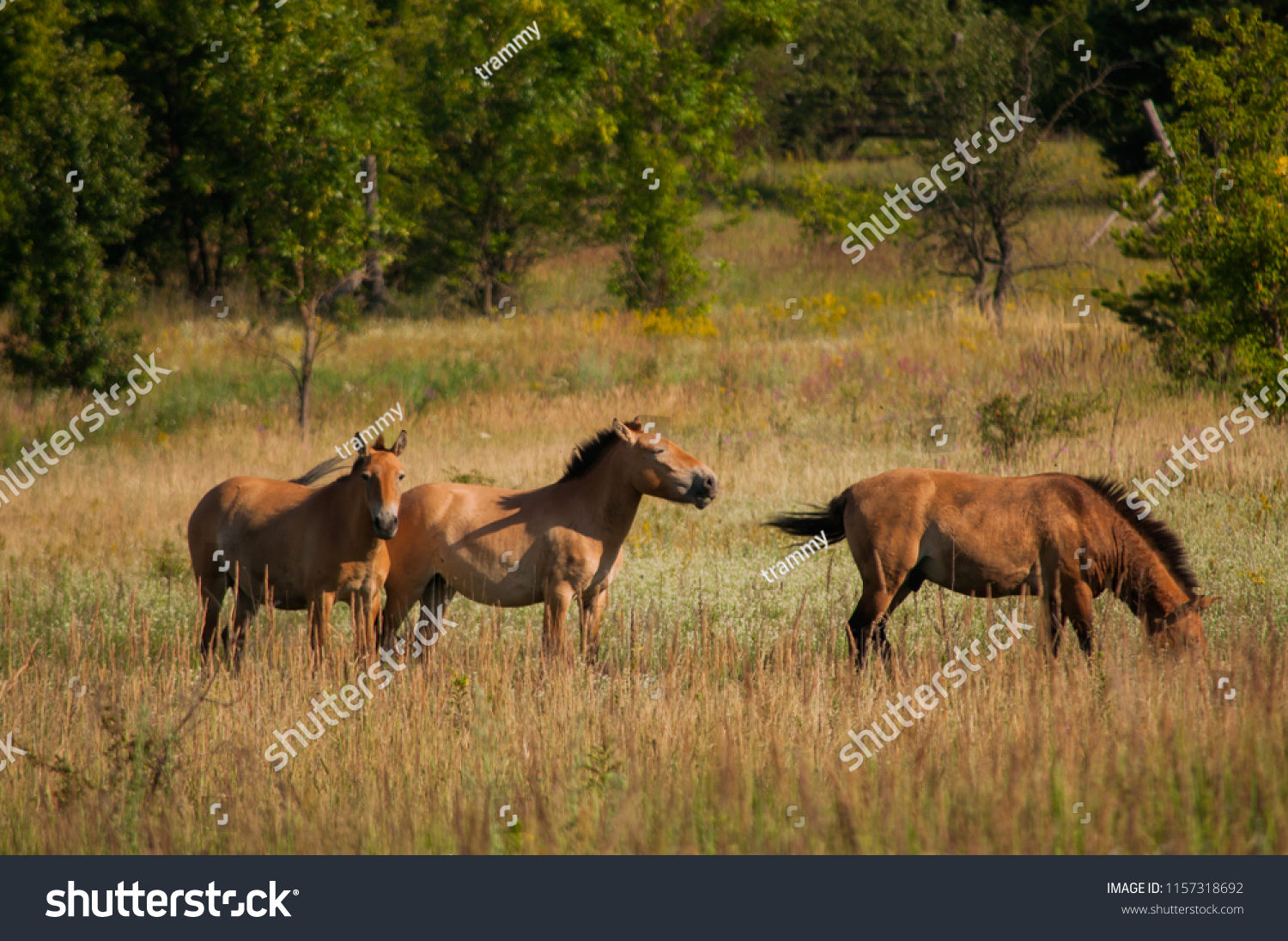 Wild Przewalskis Horses On Meadow Outdoors Stock Photo (Edit