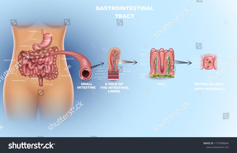 Gastrointestinal Tract Anatomy Intestinal Villi Small Stock