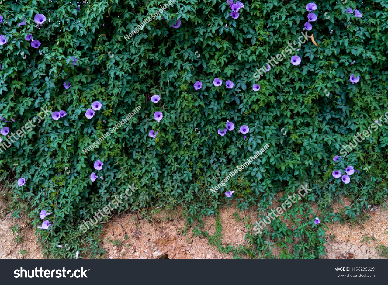Creeper Purple Flowers Covering Wall Stock Photo Edit Now 1158239629