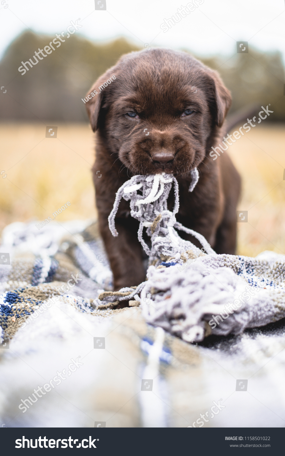 Cute Chocolate Lab Puppy Baby Blue Stock Photo Edit Now 1158501022