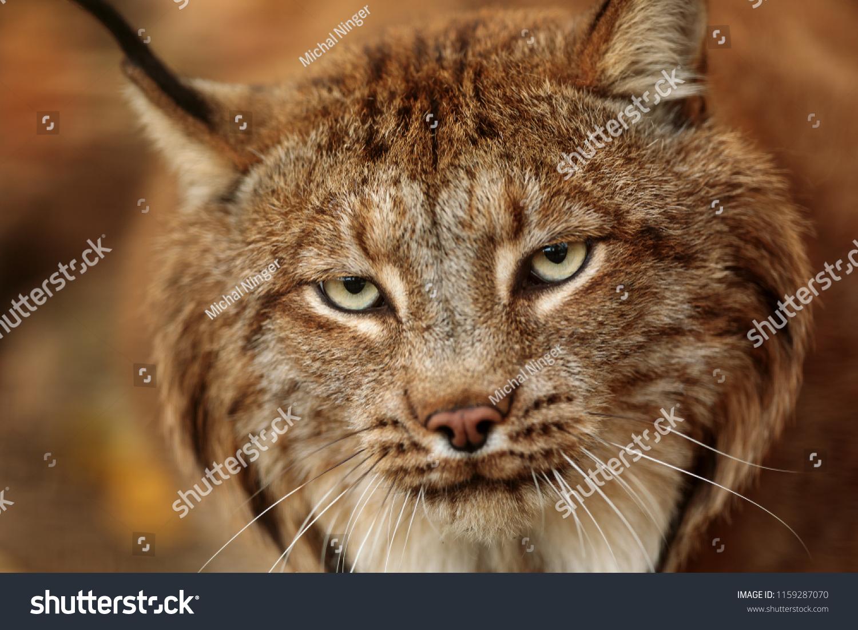 stock-photo-eurasian-lynx-lynx-lynx-vry-