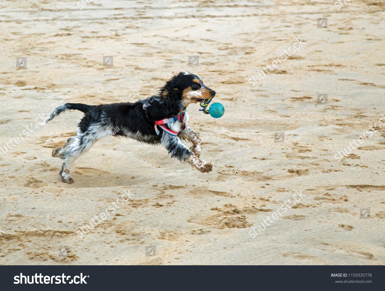 Beautiful Blue Roan Cocker Spaniel Puppy Stock Photo (Edit