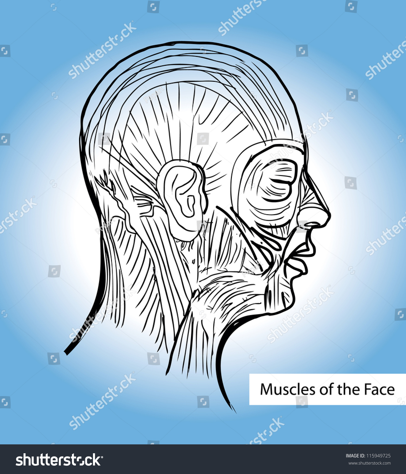 Human Anatomie Muscles Face Facial Muscles Stock Vector (Royalty ...