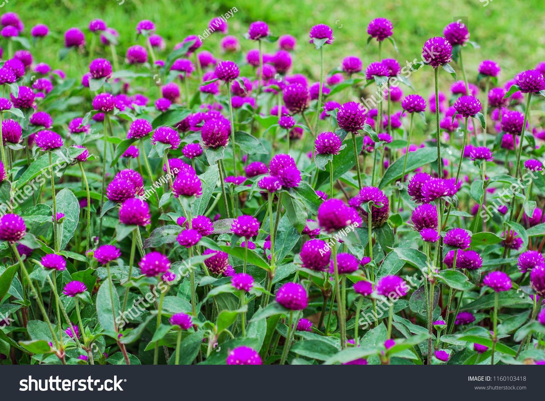 Bunga Tulip Images Stock Photos Vectors Shutterstock